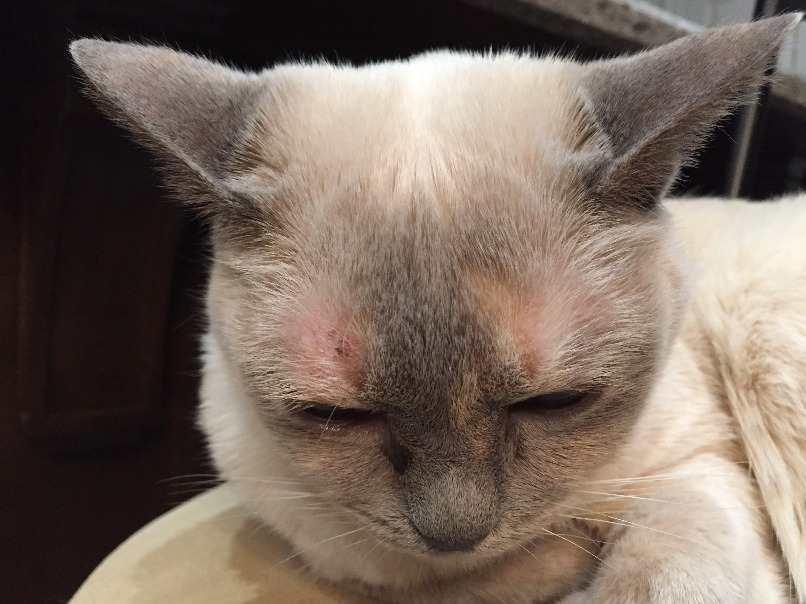 gatos con dermatitis que genera picor