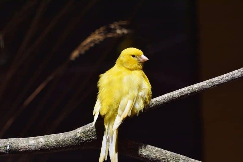 canario hembra en rama de arbol