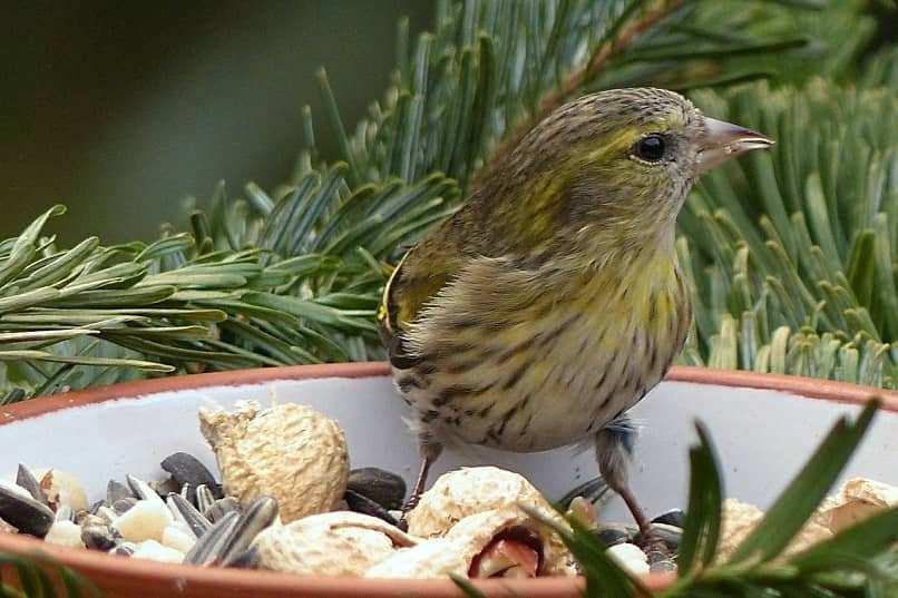 cria de canarios