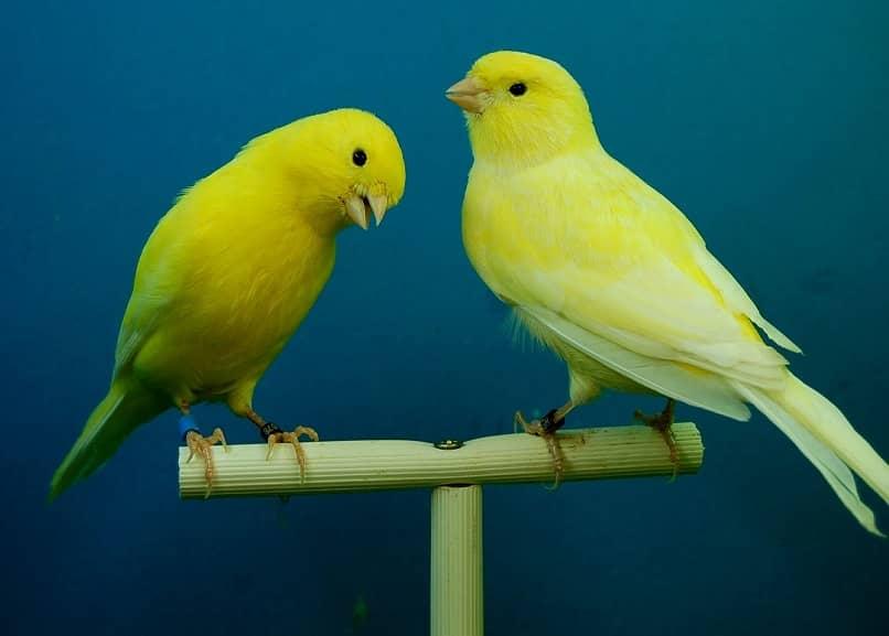 algunas enfermedades en canarios