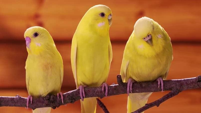 canarios en celo