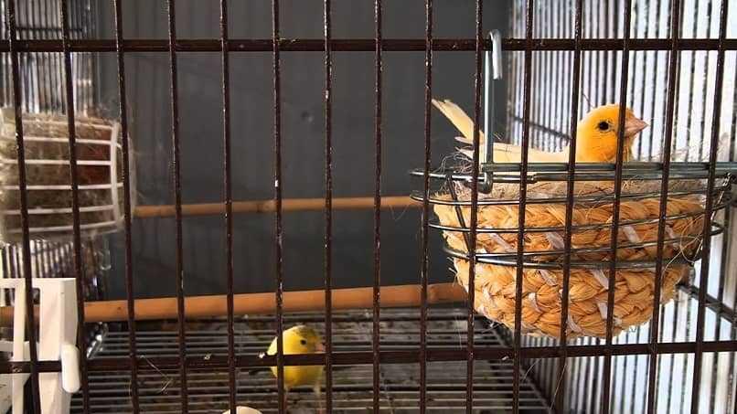 canarios en casa