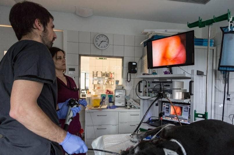 endoscopia de perro para detectar enfermedades intestinales