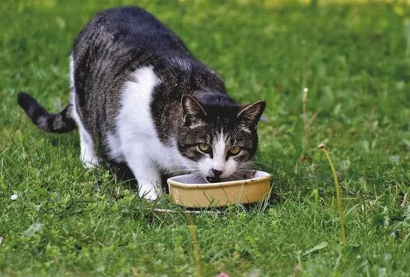 cuanta comida dar a un gato
