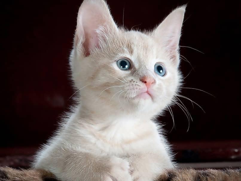 gato blanco pequeno