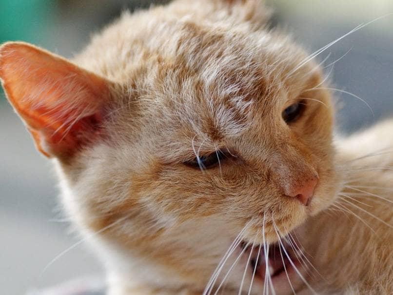 gato amarillo esta molesto