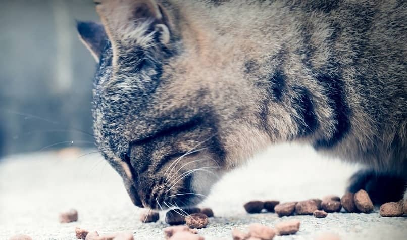 comida seca mejor para el gato