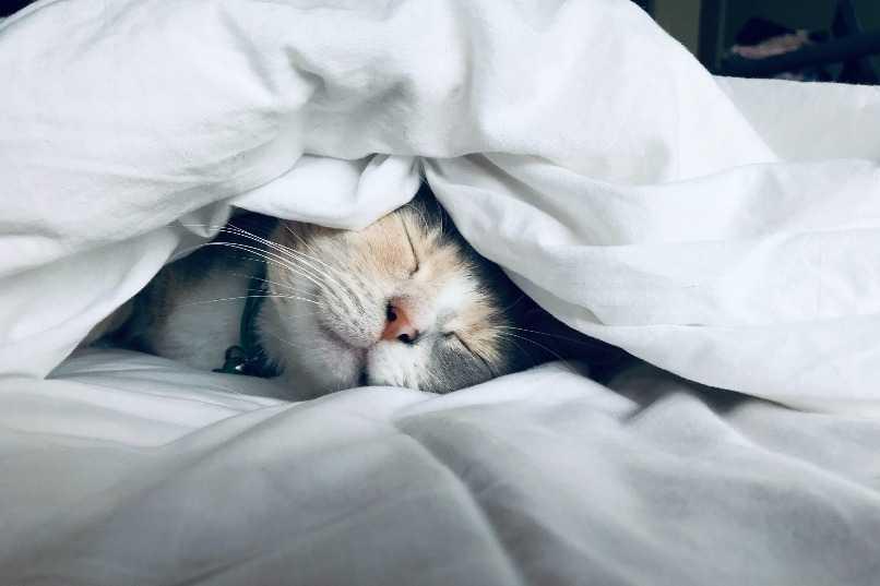 gato durmiendo en cama de propietario