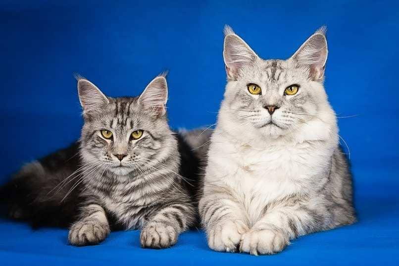 gato maine coon al lado de otra raza