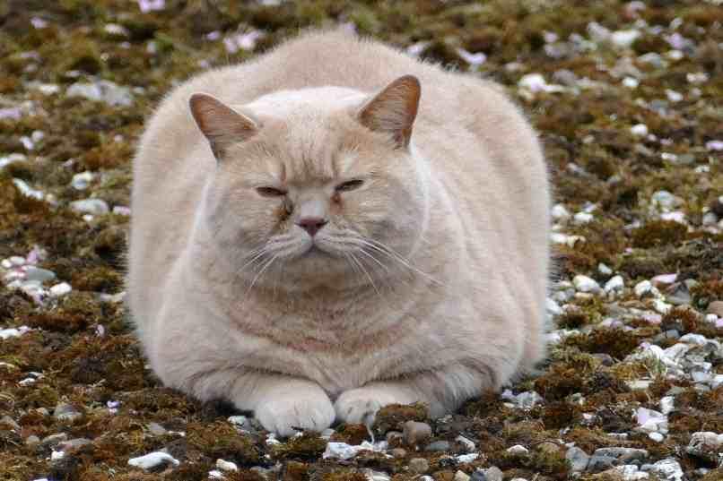 gato con panza hinchada por problemas en el higado
