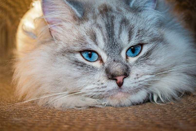 gato siberiano con cabeza en el piso