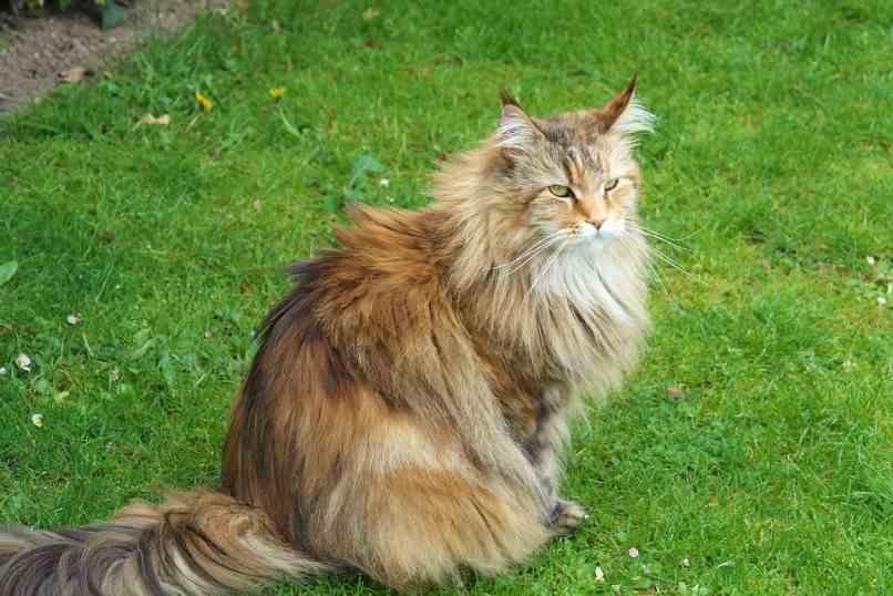 gato siberiano en jardin