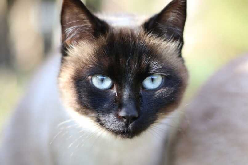 cuidados del gato tonkines