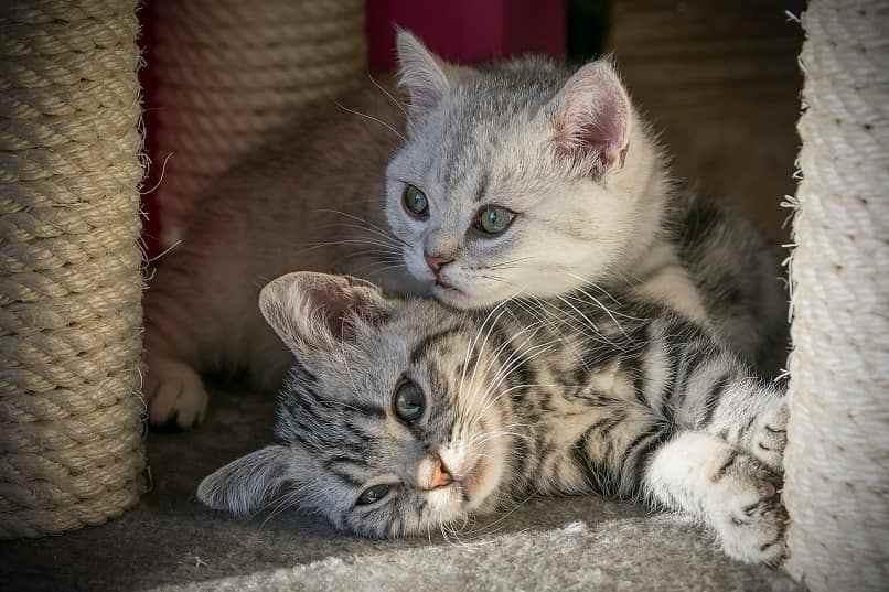 como evitar peleas de gatos