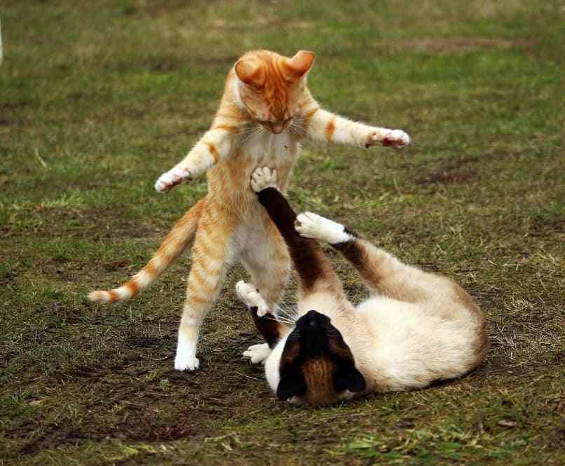 gatos peleando o jugando