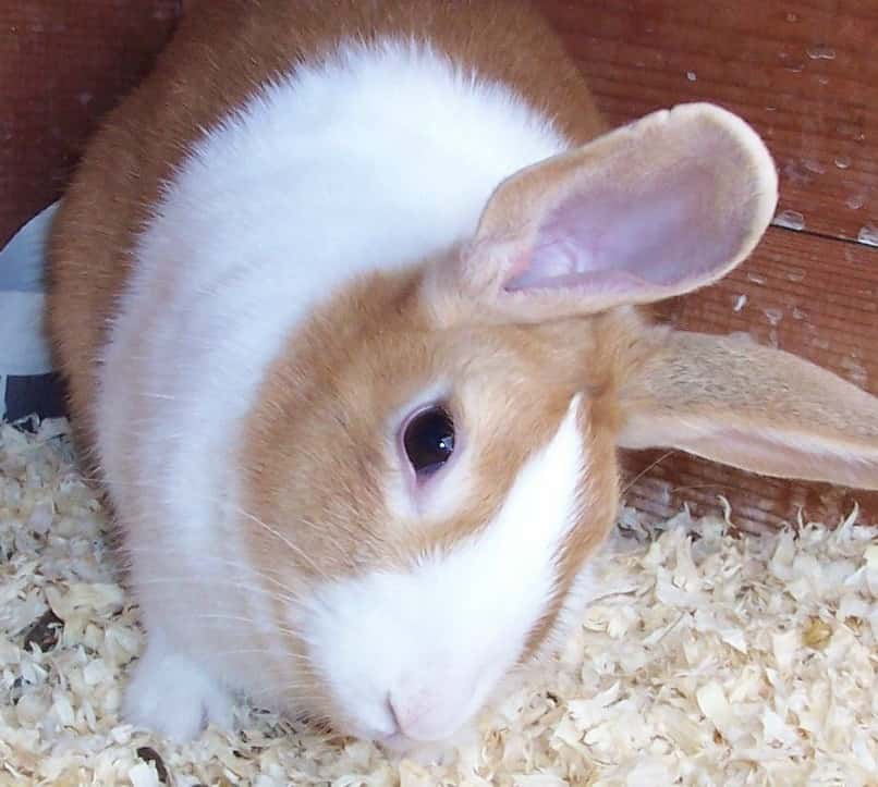 conejo blanco con otitis interna