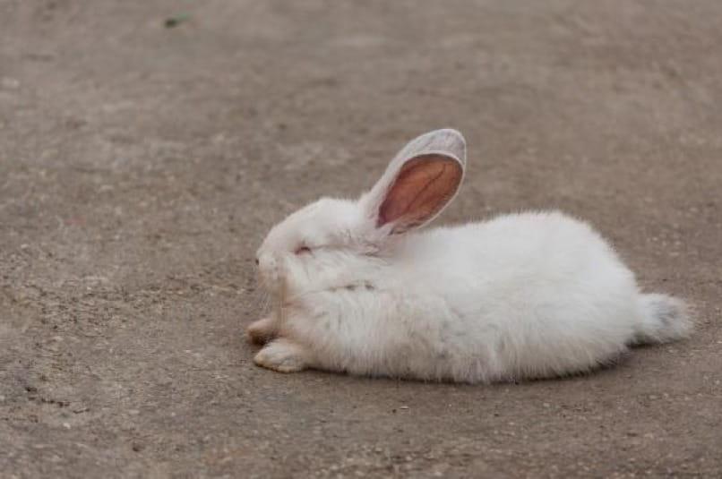 conejo con otitis