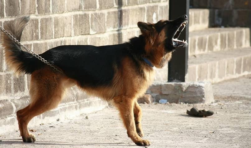 porque el ladro grune a otros perros