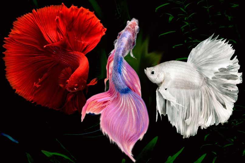 pez beta rojo blanco multicolor