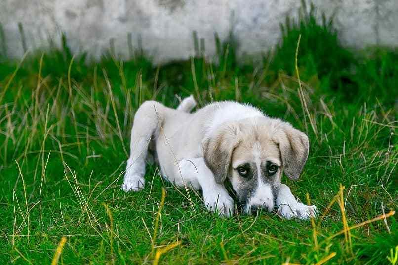 vomito de baba blanca en perro