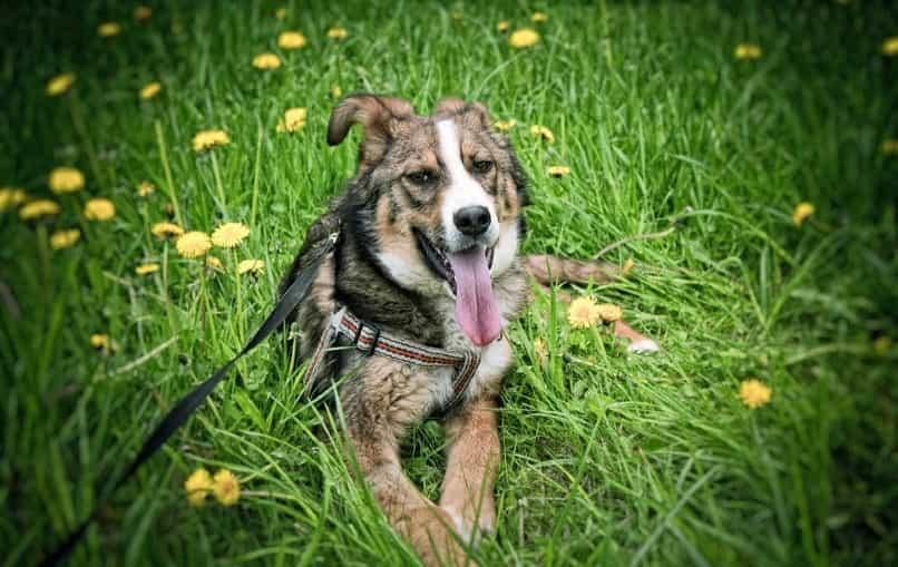 perro adulto gris sentado en la grama verde