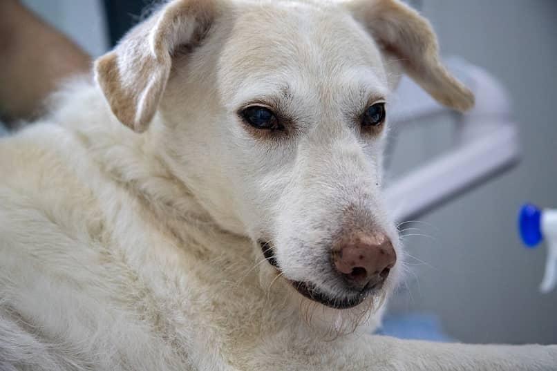 perro con enfermedad de gusano en el corazon