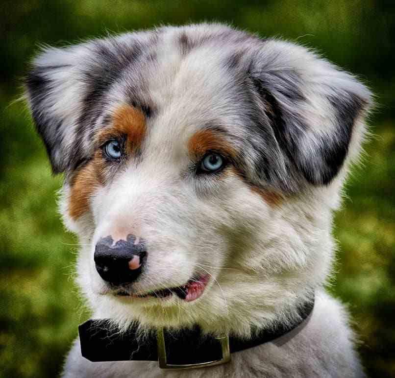 hiperqueratosis canina