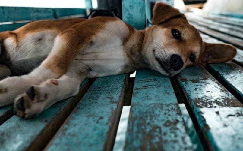perro enfermo por reflujo gastroesofagico