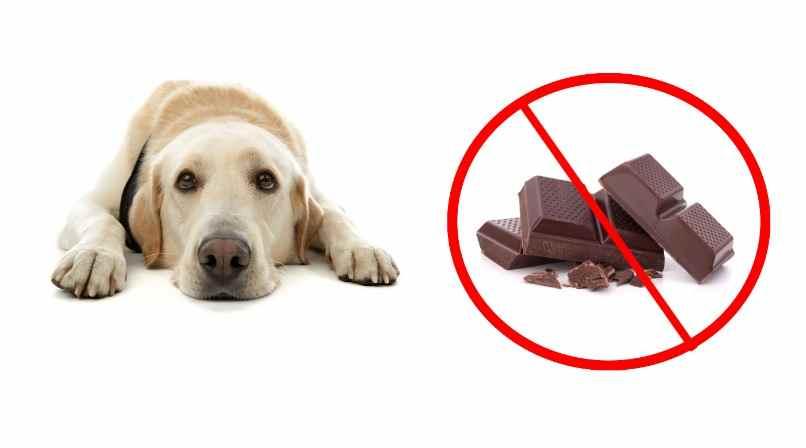 perro no puede comer galleta de chocolate