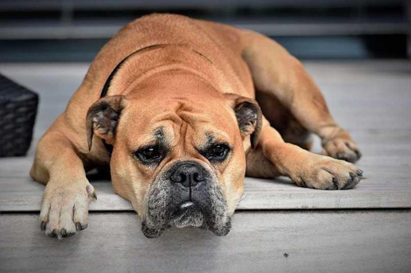 perro enfermo filariosis canina