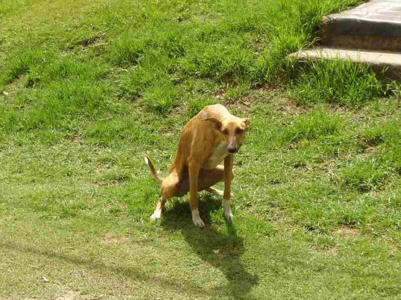 perro haciendo caca en jardin