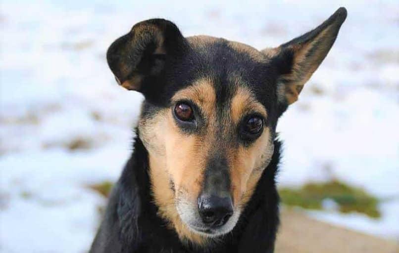 perro negro y marron con una oreja caida