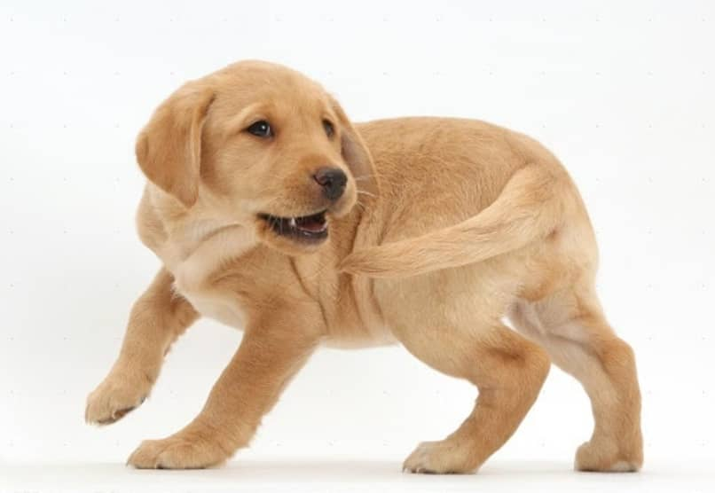 porque mi perro se muerde la cola