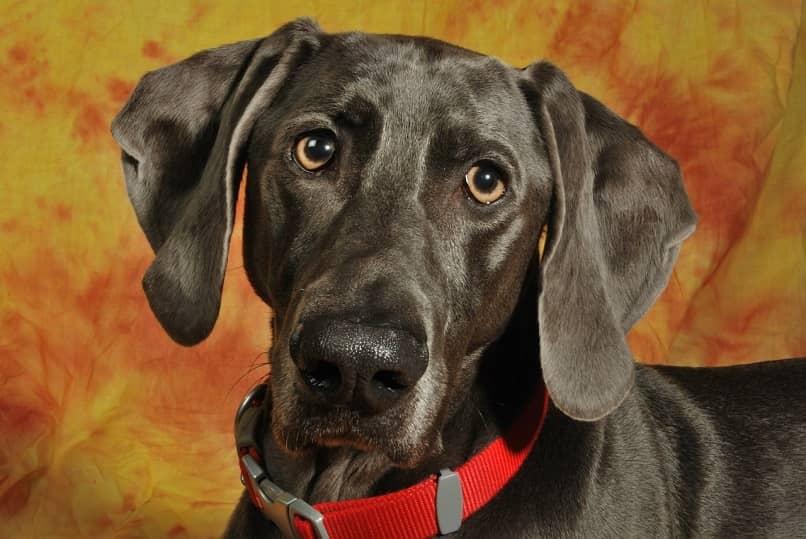 perro con orejas frias