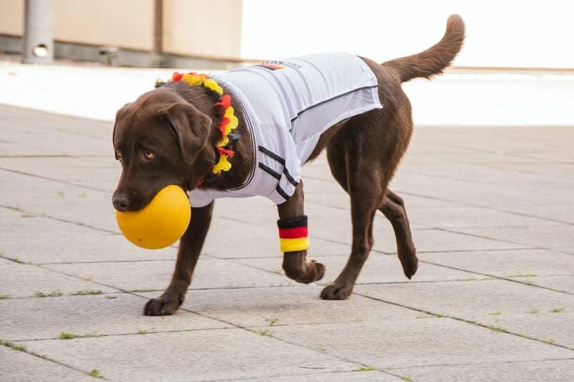 entrenar perro traer la pelota