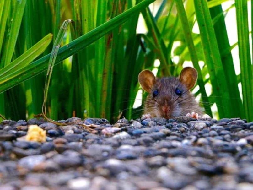 rata con hojas verde