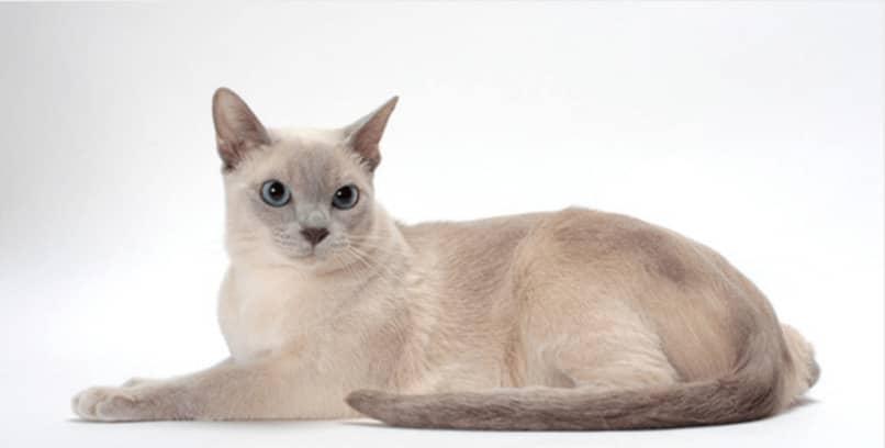 características de gato tonkines
